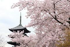 Sakura and Pagoda (Teruhide Tomori) Tags: sakura cherry spring tree pagoda 五重塔 kyoto japan japon toji architecture building construction roof tradition 京都 東寺 寺院 春 桜 山桜 日本 庭園 garden