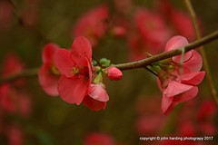Japanese Quince On A Branch (T i s d a l e) Tags: tisdale japanesequinceonabranch flower blooms japanesequince winter february 2017 easternnc