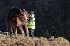 Wiggins V (meniscuslens) Tags: drum horse military retired groom hay paddock field trees fence hivis friends charity buckinghamshire