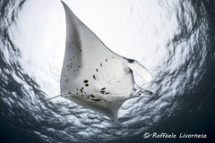 _RAF2497 (Raffaele Livornese) Tags: maratua manta indonesia wideangle nikond810 sigma15fe underwaterphotography divingphotography nature wildlife ambient