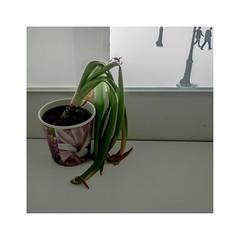 Oubliée (hélène chantemerle) Tags: plante fleur pot fenêtre extérieur passants plant flower outdoor window passersby light white