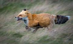 Full Speed Ahead (~ Bob ~) Tags: tamron sleek nikon wildlife nature d500 running mammal sanjuanisland feisol redfox washingtonstate fast