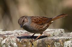 Dunlin - Lodmore RSPB Dorset - 180417 (1) (ailognom2005) Tags: dunlin lodmorerspb weymouth dorset dorsetwildlife wildbirds rspbreserves rspb naturalhistory naturereserves
