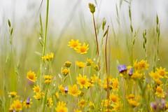 (Enesa. 7) Tags: wildflowers ebparksok