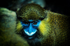 Blaumaulmeerkatze in Hellabrunn (Roman Achrainer) Tags: blaumaulmeerkatze tierpark hellabrunn affe münchen tiere zoo tiergarten achrainer