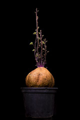 From Its Womb (leo.vcastro) Tags: sweetpotato potato sweet batatadoce batata doce broto sprout born nascimento luz light onblack nikon d7100 gym carbohydrate academia carboidrato