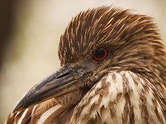 Juvenile Black Crowned Night Heron (dennisgg2002) Tags: bronx zoo new york city ny nyc