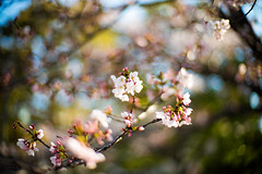 Sakura Reminiscence (moaan) Tags: osaka japan jp sakura cherryblossoms blossoms blossoming inblossom reminiscence memory sun underthesun bokeh dof urata 2017 leica mp leicamp type240 noctilux 50mm f10 leicanoctilux50mmf10