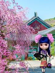 Tsuki visits Korea during Cherry Blossom season.  Asian Butterfly Encore.