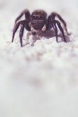 Sur le mur blanc, t'es repérable (Fabisa00) Tags: spider araignée saltique blanc mur wall white insect insecte macro closeup
