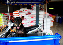 ,, Boney Boy, Feed Store ,, (Jon in Thailand) Tags: boneyboy dog k9 happydog sidecar feed feedstore street streetphotography blue colors asia nikon d300 nikkor 175528 kibble red yellow green ears eyes tongue orange littledoglaughedstories