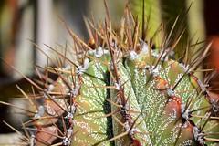 Watch Out (KaDeWeGirl) Tags: newyorkcity bronx riverdale wavehill botanical garden greenhouse cactus needles spines spikes