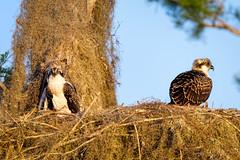 Two juvenile Osprey (Ed Rosack) Tags: usa osprey 25hawkskiteseaglesandallies bird bluecypresslake centralflorida nest young ©edrosack florida immature juvenile nesting ospr pandionhaliaetus verobeach