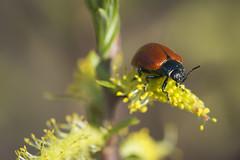 Hazard (Doriane Boilly Photographie Nature) Tags: le criocère rouge champs garden printemps nature faune flore nikon proxi herbes biodiversité fabuleuse