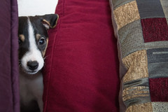 Peeking Out from Behind the Pillows (marylea) Tags: mar6 2017 dooley dog puppy parsonrussellterrier parsonrussell jackrussellterrier jackrussell peeking terrier