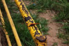 Borboleta bairro São João JM - Wir Caetano - 26 04 2017 (1) (dabliê texto imagem - Comunicação Visual e Jorn) Tags: borboleta inseto amarelo escada ferrugem