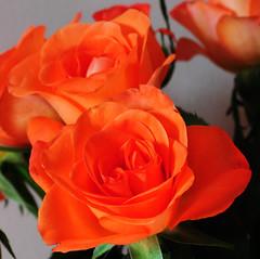DSC_6690a (PeaTJay) Tags: nikond300s sigma reading lowerearley berkshire macro micro closeups gardens indoors nature flora fauna plants flowers bouquet rose roses rosebuds