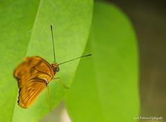 JM foto75-125 (janetankersmit) Tags: 2017 vlinders vlindertuin zutphen