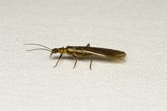 Plecoptera sp. (Stonefly) Everett WA (Nick Dean1) Tags: plecoptera stonefly animalia arthropoda arthropod hexapoda hexapod insect insecta washington washingtonstate everett southeverett