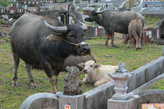 Graveyard Calf 3 (Bob Hawley) Tags: nikond7100 nikon2870mmf3545afd asia pingtung taiwan outdoors xuhai animals bubalusbubalis domestic farming agriculture cemeteries graveyards juvenile