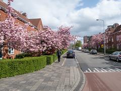 Floresstraat (Jeroen Hillenga) Tags: groningen floresstraat bloesem bloeiendekers voorjaar lente stad straat street streetwise straatfotografie streetphotography indischebuurt korrewegwijk netherlands nederland