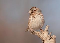 Song Sparrow (JDA-Wildlife) Tags: birds nikon nikond7100 tamronsp150600mmf563divc jdawildlife johnny portrait closeup sparrows sparrowsong songsparrow wow gorgeous