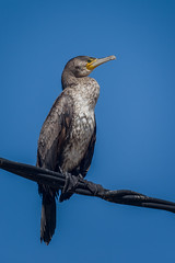 """Cormoran grande """"Phalacrocorax carbo"""" (alimoche67) Tags: josejurado sony españa cataluña aves deltadelebro mar acuaticas fauna tarragona"""