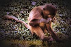 thinking about life (camerito) Tags: little monkey kleiner affe äffchen camerito nikon1 j4 unlimited photos flickr austria österreich