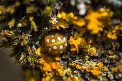 camouflage (Timo Nennen) Tags: macro insect insekt marienkäfer ladybug gelb gelbflechte nature bug käfer holz wood camouflage tarnung