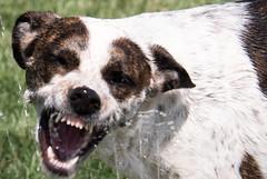 "1989. 4/12 ""Wild Side"" (d2roberts) Tags: dailydogchallenge ddc dog dailychal sprinkler heinz57 rylee"