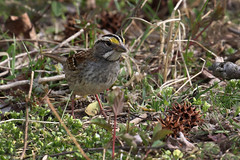 White-throated Sparrow at PHNWR....6O3A7264A (dklaughman) Tags: whitethroated sparrow primehooknwr delaware bird