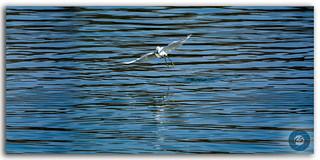 The egret's flight over Man Sagar lake to prey!
