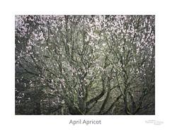 April Apricot (baldwinm16) Tags: april mortonarboretum places blooms buds nature spring trees natureofthingsphotography