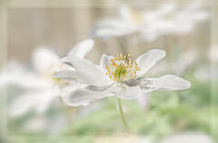 wood anemone (fire111) Tags: wood anemone bosanemoon macro flowers forrest beauty explore nikon 50mm