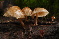 Mycena (Bernard Spragg) Tags: mycena mushroom freephotos lumixfz1000 macro bokeh dof closeup nature fungi fungus