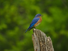 eastern_blue_bird5