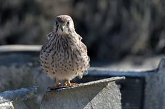 Kestrel (MoGoutz) Tags: kestrel kalochori falco tinnunculus
