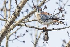 American Kestrel (M) (Peter Stahl Photography) Tags: americankestrel kestrel male vole hunting alberta stalbert spring falcon