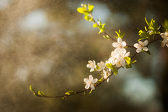 Wild Cherry Blossom (Łukasz Babula) Tags: poland april spring sprung flower plant blossom white yellow leafs water rain rainy droplets sun sunny shine landscape nature natural wild wildlife silence sunset sunshine bokeh nikon d300 nikkor 50mm 14 countryside colours warm tree macro depthoffield ray rays colors flora evening sunlight light magic magical bloom plants gold golden green outdoor outdoors springtime