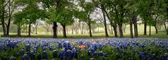Roadside Meadow (brian.pipe) Tags: nikon d500 sigma 17 50 bluebonnets ennis texas tx