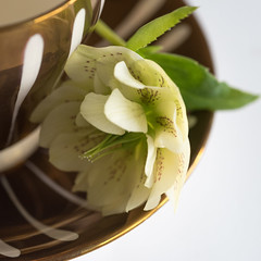 MM - Glaze [Explored] (belincs) Tags: 2017 april lincolnshire macromondays uk cup flower glaze hellebore indoor macro naturallight saucer