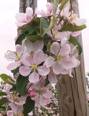 Appelbloesem 2017 3 (megegj)) Tags: gert bloesem blossom bloem flower fleur fiore
