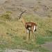 Djibouti Gazelle