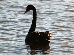 Silhouette Black Swan (publicdomainphotography) Tags: animal aquatic beak bird black blue countryside family fauna feather float floating fluffy fowl grace gray grey head lake living natural nature neck ornithology outdoor park plumage pond poultry reflection reservoir ripple river rural scene serenity shore single swan swim swimming water waterbird waterfowl wave wet wild wildlife wing