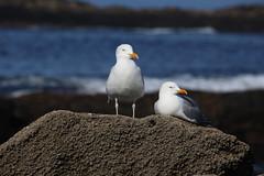 Goelands / Seagulls (dbrothier) Tags: relax seagull goeland canonef100300mmf4556usm eos6d 7dwf quiberon kiberen bzh bretagne breizh birds oiseaux morbihan flickr13 featheredfriends smileonsaturday 6d