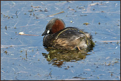 Little Grebe (image 2 of 2) (Full Moon Images) Tags: kings dyke wildlife nature reserve cambridgeshire bird little grebe