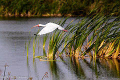A White Ibis glides past the cattails. (Glotzsee) Tags: nature florida indianrivercounty verobeach outdoors outside wildlife bird birds glotzsee glotzseefloridaimages ibis whiteibis flight inflight