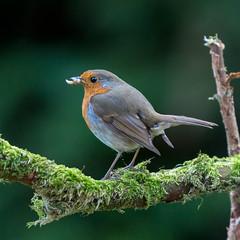 Robin (Phil Durkin) Tags: nature robin bird wildlife mealworm feeding standing plumage