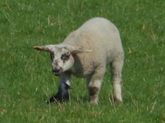 P1000809 (ValeFlora) Tags: pecora sheep