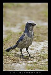 """Florida Scrub Jay"" (Lisa L Kee Photography) Tags: lisalkee lisalkeephotography canon canon7d 500mm florida wildlife nature bird scrubjay floridascrubjay"